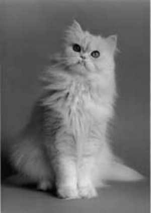 White Persian cat.