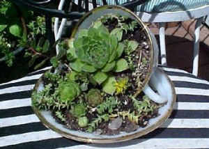 succulents planted in a cup and saucer