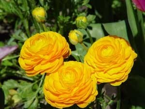 Growing: Ranunculus