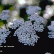 Growing: Yarrow (Herbs)