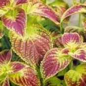 pink and yellowish green coleus