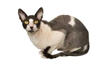 Closeup of Cornish Rex cat.