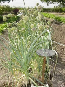 Growing: Leeks