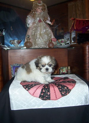 Fancy (Shih Tzu)