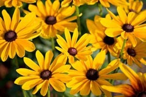 Closeup of Black-eyed Susans