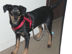 Small black and brown dog with red halter.