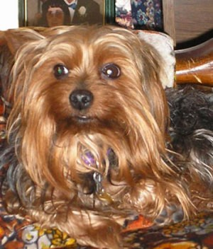 Odie (Yorkshire Terrier)
