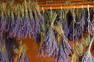 bunches of lavender drying