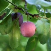 plum on tree
