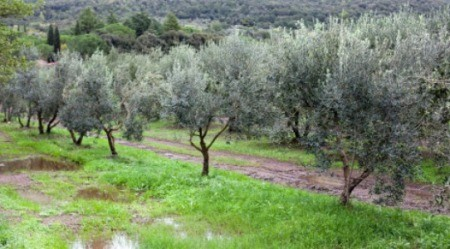 Row of olive trees.