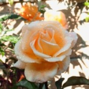 Peach colored rose.