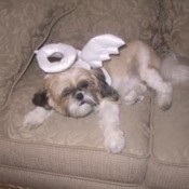 Treasure (Shih Tzu)
