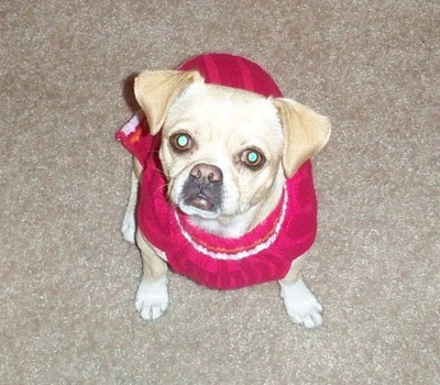 Pug in red dress