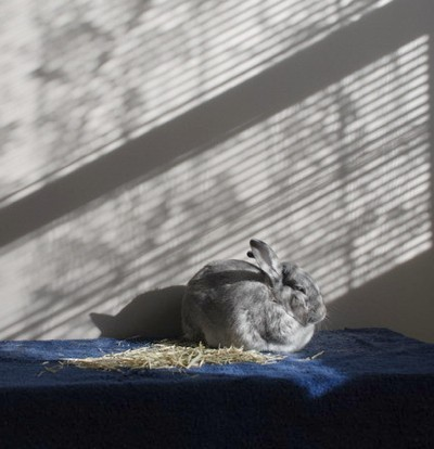 Willow (Dwarf Rabbit)