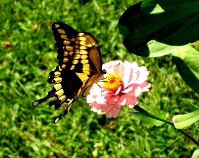 Black and yellow butterfly on pink flower.