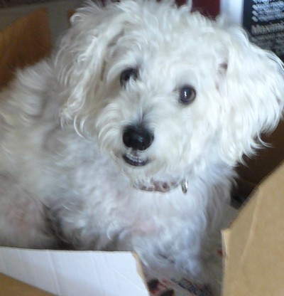 Tasi Maltese Terrier Mix Thriftyfun