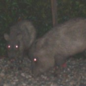 2 Javalinas in the dark