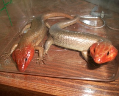 Skinks in a plastic box.