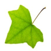 English Ivy Leaf