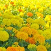 Growing: Marigolds