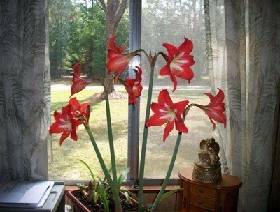 Deep pink-red amaryllis bulbs in a window.