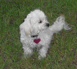 small white dog on lawn