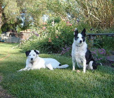 Buddy (Queensland Heeler) and Duchess (Border Collie)