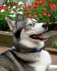 April (Siberian Husky)