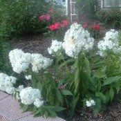 Phlox plant with white blooms in garden