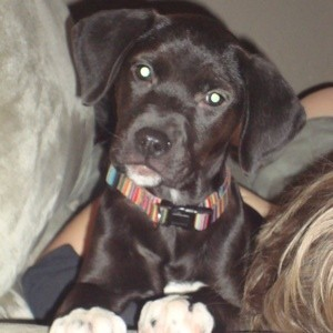 Black puppy with Lab like ears and white feet.