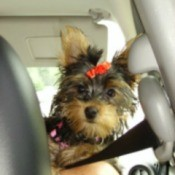 Darla Rose (Yorkshire Terrier)