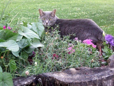 Gray tabby cat in garden.