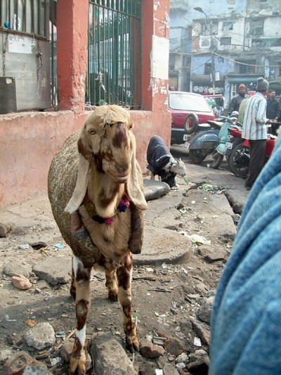 A goat on the streets of New Dehli, India