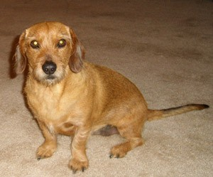 Brown Dachshund mix sitting on the carpet.