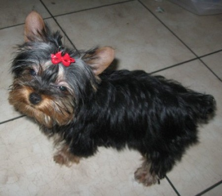Dominice (Yorkshire Terrier)