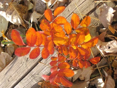orange rose bush leaves