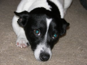 Jack Russell mix dog