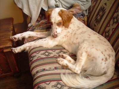 Bella (English Setter)