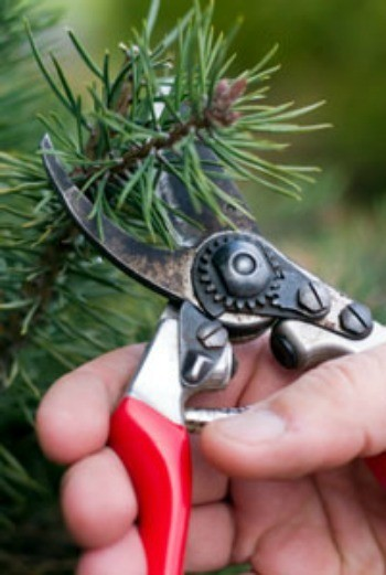 Pruning Your Evergreens