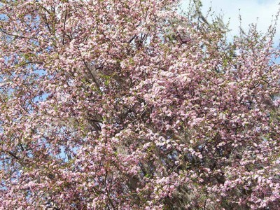 Close-up of Crab Apple Tree