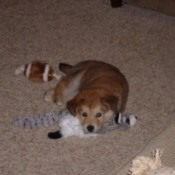 Puppy on floor with toy.