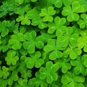 Shamrocks: The St. Patrick's Day Plant