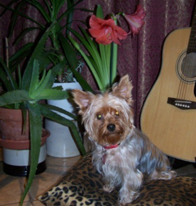 Princess 'ChaCha' (Yorkshire Terrier)