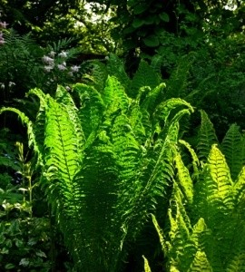 Growing Woodland Ferns