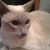 Chelsea (Lilac Point Siamese)