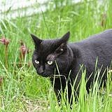 Smokey (Black Cat)