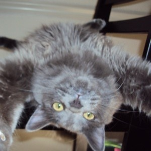 Grey cat lying upside down.