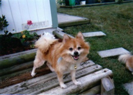 Red Pomeranian smiling outside in the yard.