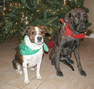 Dogs in front of Christmas tree.