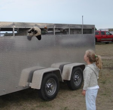 sheep in trailer